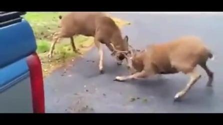 Duello a suon di corna per due cervi in un viale di casa