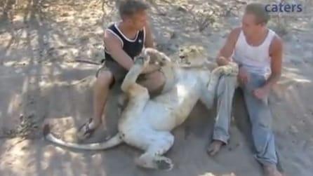 La leonessa gioca insieme agli ambientalisti che l'hanno salvata