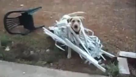 Il più bel video dei cuccioli di Labrador di sempre
