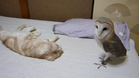Ecco come reagisce un gatto alla presenza di un barbagianni