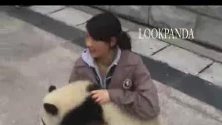 Ecco come reagiscono i panda al terremoto