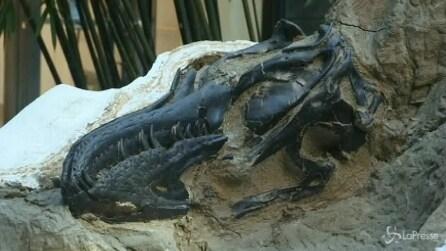 New York, all'asta martedì due fossili completi di dinosauro