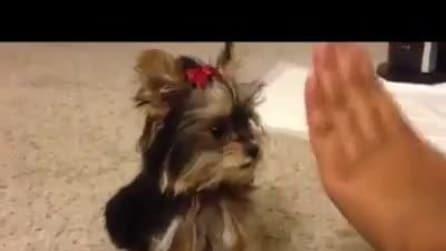 """Un piccolo cagnolino gioca a """"batti il cinque"""" con la sua padrona"""