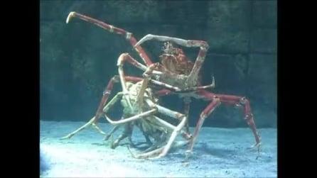 Japanese Spider Crab, il rito dell'accoppiamento