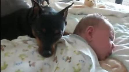 Il Pincher che protegge il sonno del suo piccolo amico