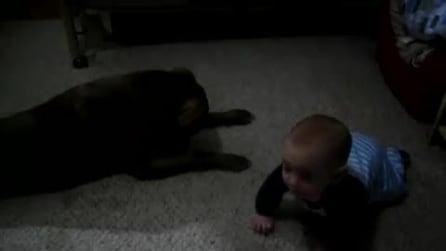 Il Pitbull che insegna al bimbo a gattonare