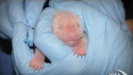"""Baby Panda gigante a Washington è stato battezzato """"tesoro"""""""