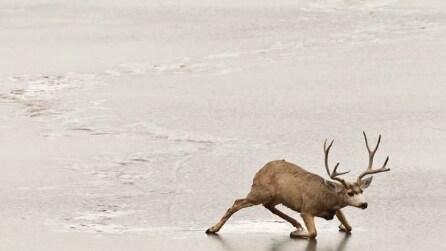Tre cervi bloccati sul lago ghiacciato vengono salvati prima che sia troppo tardi