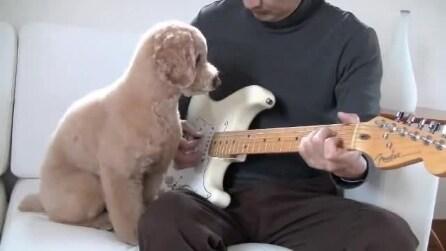 Il cagnolino rockstar, suona la chitarra insieme al suo padrone