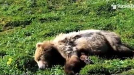 Alaska, tragica morte di grizzly per infarto