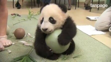 Un piccolo panda gioca con palla, che tenerezza!