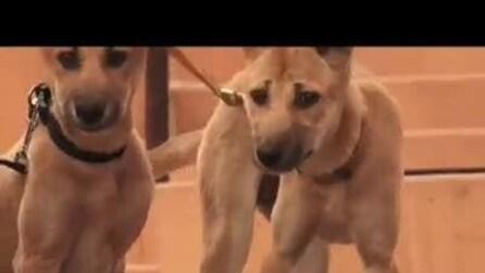 Allarme in Australia, a rischio estinzione i Dingo