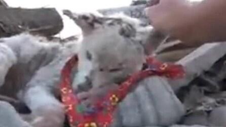 Husky, abbandonato nella spazzatura, torna a vivere grazie all'amicizia di un chihuahua