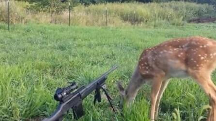 Ecco come un cervo gioca con un fucile