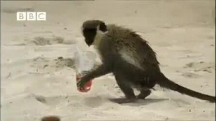 La scimmietta ubriacona, beve i drinks dei bagnanti