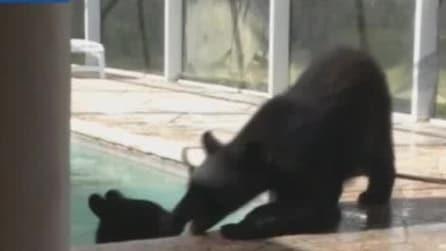 Florida, donna trova una famiglia di orsi che nuota nella piscina di casa sua