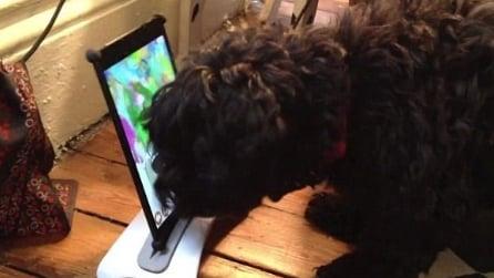 Amos, il cane che disegna come Picasso, usando l'Ipad