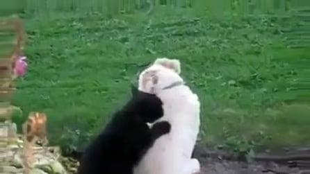 Il gatto massaggiatore, fa un massaggio al suo amico cane