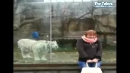 Non ti voltare! L'agguato di una tigre bianca allo zoo