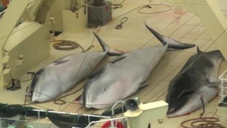 Sea Shepherd intercetta mercantili giapponesi, cacciare illegalmente balene