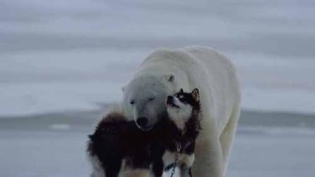 """Orso polare e husky diventano """"migliori amici"""" dopo un incontro casuale"""