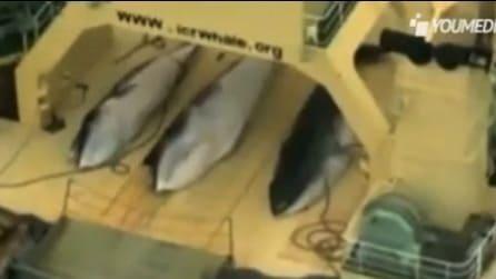 Attivisti denunciano caccia alle belene in acque internazionali protette
