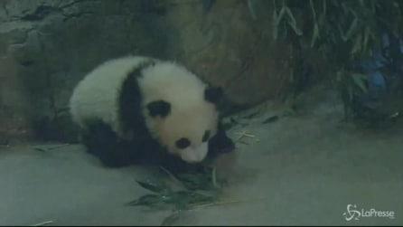 Usa, cucciolo di panda debutta allo zoo di Washington