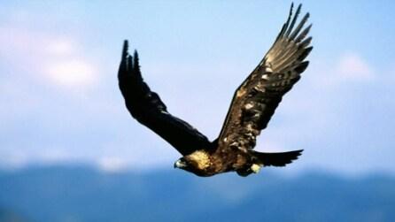 Ecco come un falco caccia un corvo, immagini in prima persona
