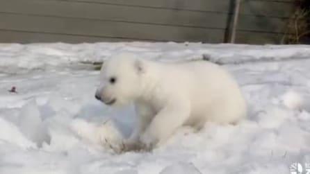 Toronto, ecco la dolcissima reazione dell'orsetto polare, che vede per la prima volta la neve