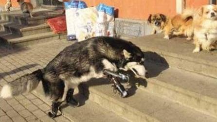 L'Husky che torna a camminare grazie a delle protesi
