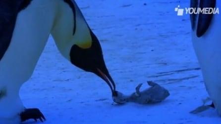 Lo struggente dolore di una mamma pinguino alla morte del suo piccolo
