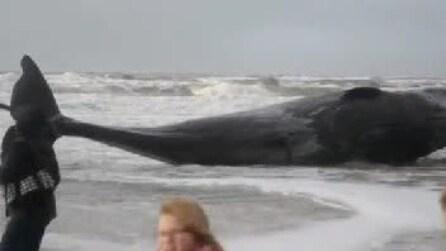 Capodoglio spiaggiato, curiosi camminano sulla carcassa del povero animale