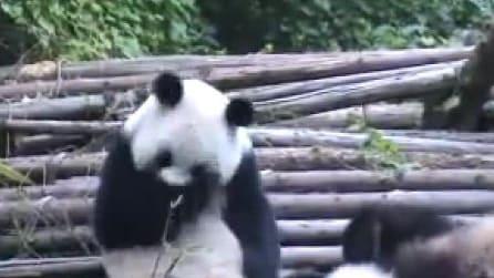 Incredibile crisi di starnuti per il povero panda!