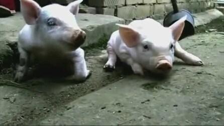 Cina, ecco l'adorabile maialino nato senza due zampe