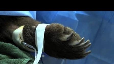 Sta bene MArley, l'orsa grizzly operata alle zampe