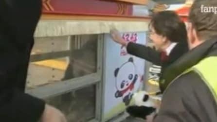 Coppia di panda lascia la Cina per il Belgio: accolti come Vip