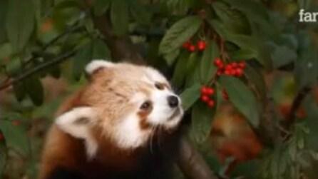 Ecco come cresce un panda rosso nei suoi primi sei mesi di vita