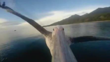 L'emozionante volo di un pellicano, visto da vicino