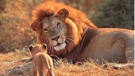 Papà leone insegna ai suoi cuccioli come si ruggisce