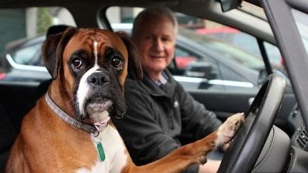 Il cane suona il clacson perche stufo di aspettare il padrone