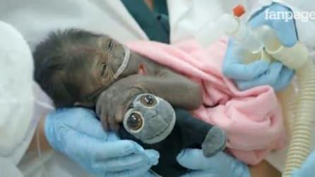 Appena nato da un cesareo, il baby gorilla stringe un peluche ed emoziona tutti