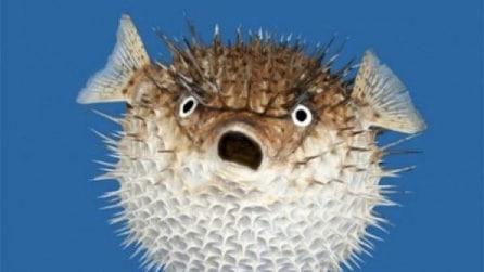 Lo strano pesce palla con gli aculei