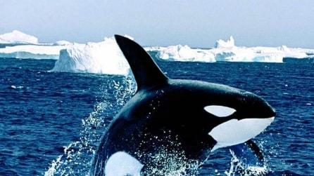 L'orca che prova a comunicare con l'uomo imitando il suono del motore della barca