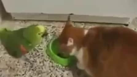 Il gatto mangia e il pappagallo lo infastidice: ecco come finisce