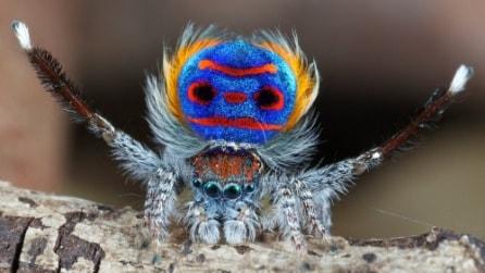 Un balletto colorato per accoppiarsi: la strana danza del ragno pavone