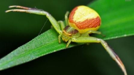 Il ragno granchio: uno degli insetti più belli al mondo