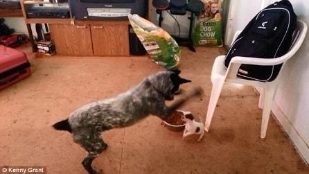 Davide contro Golia, il piccolo chihuahua difende il proprio cibo