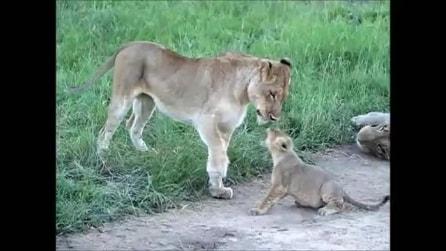 La famiglia di leoni gioca con il suo cucciolo: immagini tenerissime