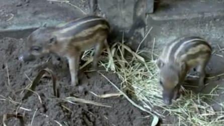 Rischio estinzione, due nuovi cuccioli vengono alla luce: le immagini sono emozionanti
