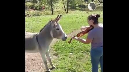 Suona il violino con un accompagnamento insolito: il mulo apprezza a modo suo
